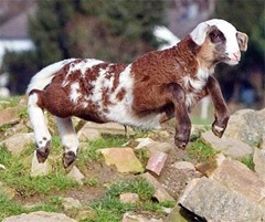 goatDM0802_468x391