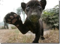 black-baby-jaguar
